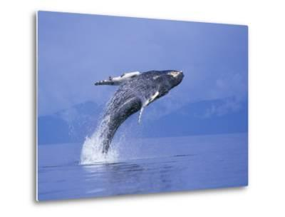 Young Humpback Whale Breaching in Frederick Sound-Paul Souders-Metal Print