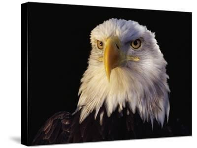 Head of Adult American Bald Eagle-W^ Perry Conway-Stretched Canvas Print