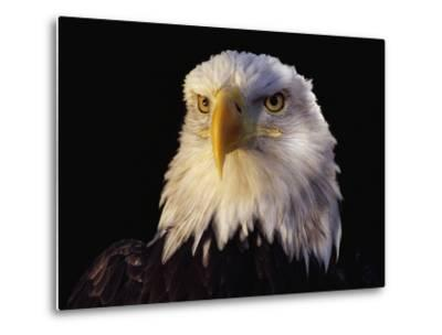 Head of Adult American Bald Eagle-W^ Perry Conway-Metal Print
