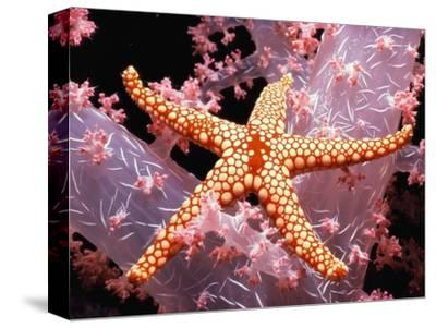 Red Mesh Starfish on Coral-Jeffrey L^ Rotman-Stretched Canvas Print