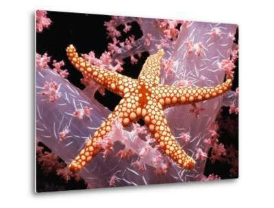 Red Mesh Starfish on Coral-Jeffrey L^ Rotman-Metal Print