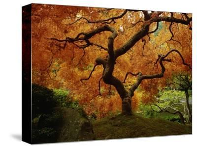 Maple Tree in Autumn-John McAnulty-Stretched Canvas Print