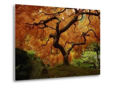 Maple Tree in Autumn-John McAnulty-Metal Print