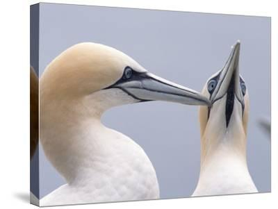 Two Northern Gannets-Niall Benvie-Stretched Canvas Print