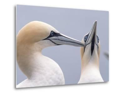 Two Northern Gannets-Niall Benvie-Metal Print