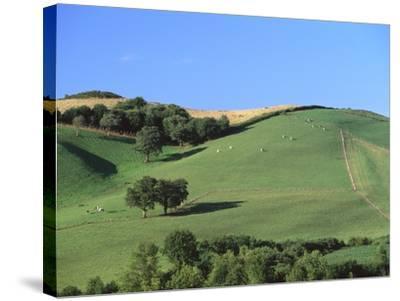 Cattle Grazing on Hillside-Owen Franken-Stretched Canvas Print