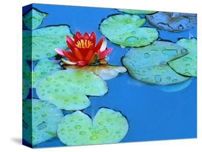 Lily Pads and Flower Blossom-Cindy Kassab-Stretched Canvas Print