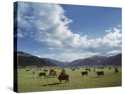 Cattle Grazing on Farmland--Stretched Canvas Print