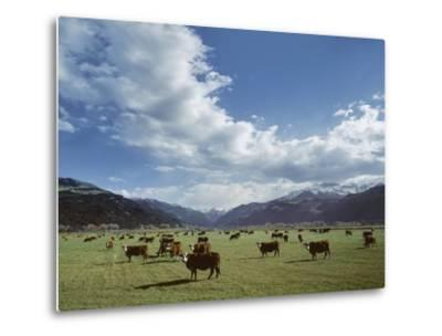 Cattle Grazing on Farmland--Metal Print