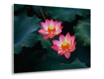 Lotus Flowers-Keren Su-Metal Print