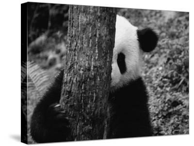 Panda Behind a Tree-Keren Su-Stretched Canvas Print