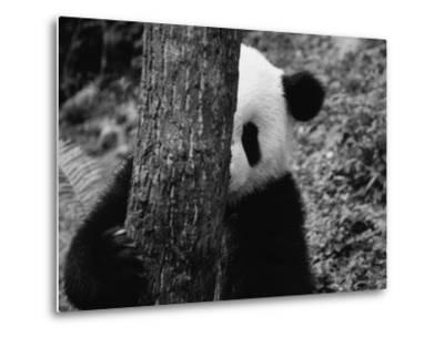 Panda Behind a Tree-Keren Su-Metal Print