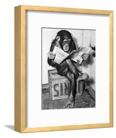 Chimpanzee Reading Newspaper-Bettmann-Framed Premium Photographic Print