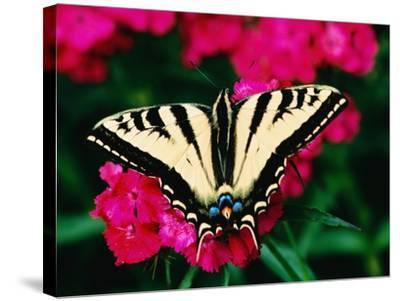 Western Tiger Swallowtail Butterfly-Darrell Gulin-Stretched Canvas Print