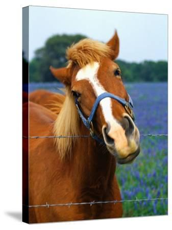 Horse Portrait-Darrell Gulin-Stretched Canvas Print