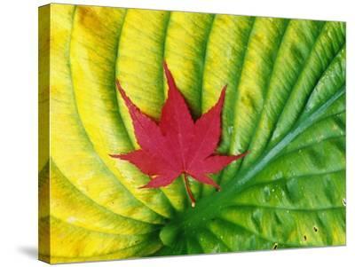 Japanese Maple Leaf on a Hosta Leaf-Darrell Gulin-Stretched Canvas Print