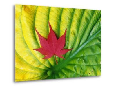Japanese Maple Leaf on a Hosta Leaf-Darrell Gulin-Metal Print