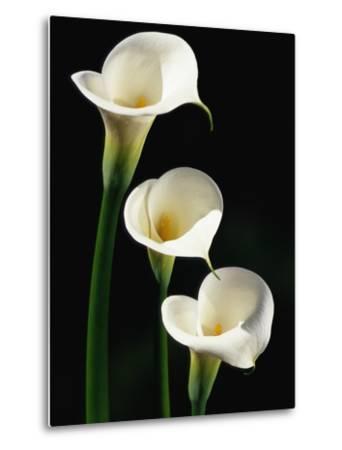 Three White Calla Lilies-Darrell Gulin-Metal Print