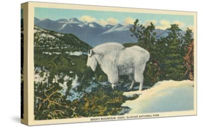 Rocky Mountain Goat, Glacier Park, Montana--Stretched Canvas Print