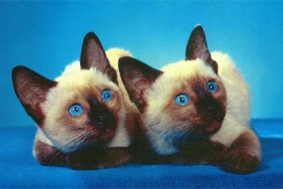 Siamese Kittens--Stretched Canvas Print