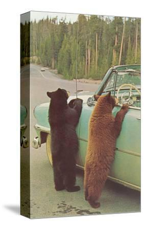 Bears Begging at Side of Car--Stretched Canvas Print