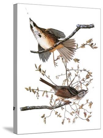 Audubon: Sparrow, 1827-38-John James Audubon-Stretched Canvas Print