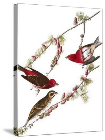 Audubon: Finch, 1827-38-John James Audubon-Stretched Canvas Print