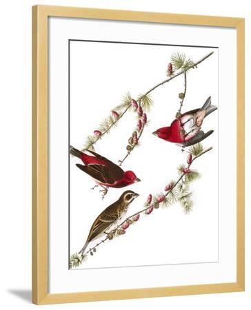 Audubon: Finch, 1827-38-John James Audubon-Framed Giclee Print