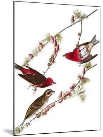 Audubon: Finch, 1827-38-John James Audubon-Mounted Giclee Print