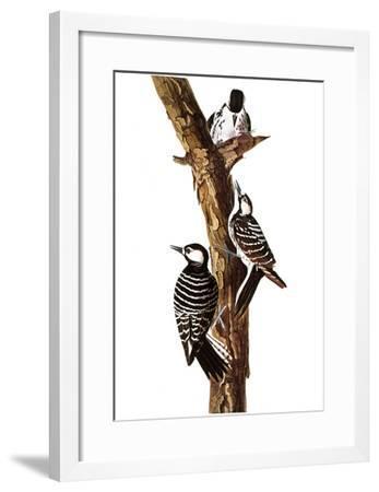 Audubon: Woodpecker-John James Audubon-Framed Giclee Print