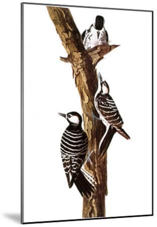 Audubon: Woodpecker-John James Audubon-Mounted Giclee Print