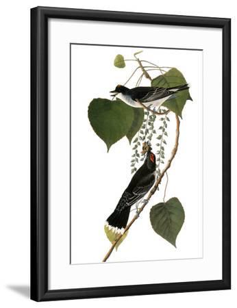 Audubon: Kingbird, 1827-38-John James Audubon-Framed Giclee Print