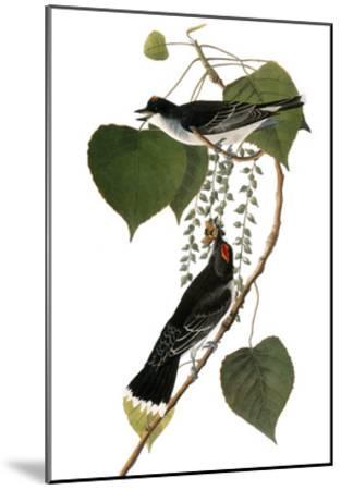 Audubon: Kingbird, 1827-38-John James Audubon-Mounted Giclee Print