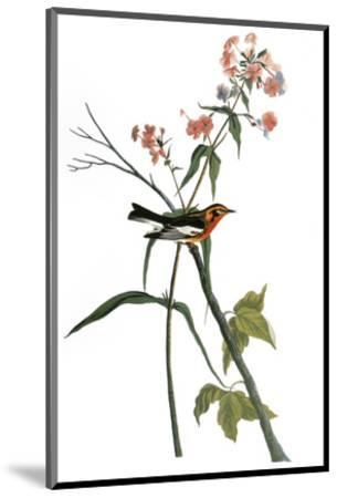 Audubon: Warbler, 1827-38-John James Audubon-Mounted Premium Giclee Print