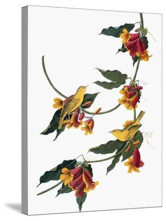 Audubon: Vireo, 1827-38-John James Audubon-Stretched Canvas Print