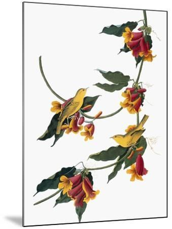 Audubon: Vireo, 1827-38-John James Audubon-Mounted Giclee Print
