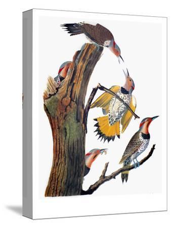 Audubon: Flicker-John James Audubon-Stretched Canvas Print