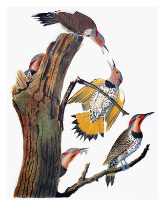 Audubon: Flicker-John James Audubon-Premium Giclee Print
