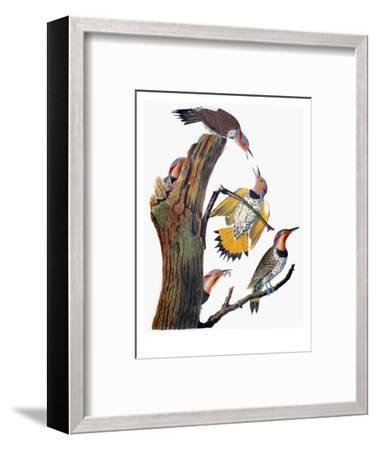 Audubon: Flicker-John James Audubon-Framed Premium Giclee Print