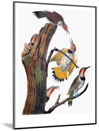 Audubon: Flicker-John James Audubon-Mounted Premium Giclee Print
