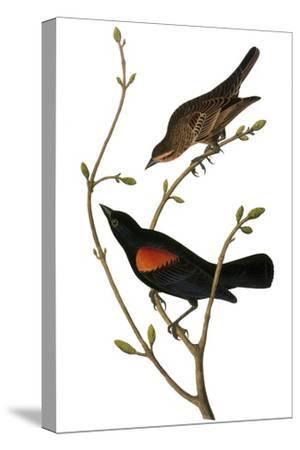 Audubon: Blackbird-John James Audubon-Stretched Canvas Print