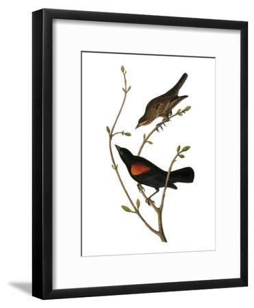 Audubon: Blackbird-John James Audubon-Framed Giclee Print