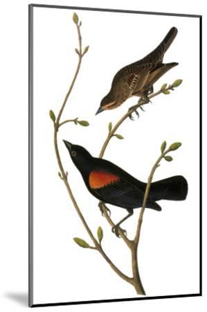 Audubon: Blackbird-John James Audubon-Mounted Giclee Print
