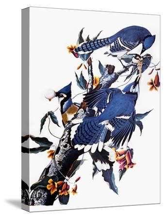 Audubon: Blue Jay-John James Audubon-Stretched Canvas Print