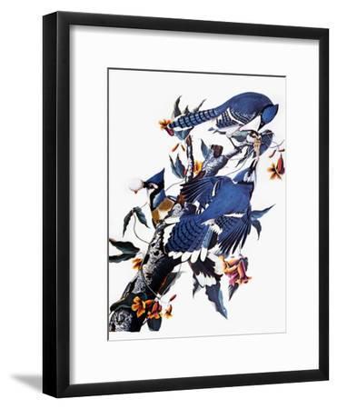 Audubon: Blue Jay-John James Audubon-Framed Giclee Print