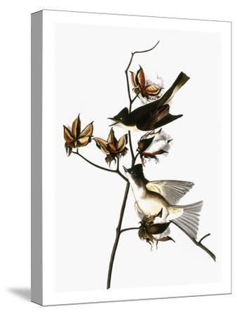 Audubon: Phoebe-John James Audubon-Stretched Canvas Print