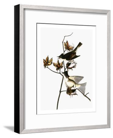 Audubon: Phoebe-John James Audubon-Framed Giclee Print