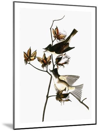 Audubon: Phoebe-John James Audubon-Mounted Giclee Print