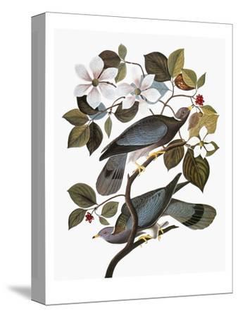 Audubon: Pigeon-John James Audubon-Stretched Canvas Print