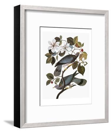 Audubon: Pigeon-John James Audubon-Framed Premium Giclee Print